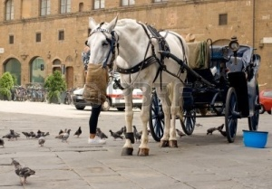 7802561-horse-and-carriage-in-florence-italy-resting-horse-having-feed-from-a-hessian-sack