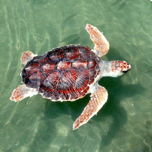 Loggerhead_Sea_turtle