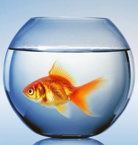 fishbowl_goldfish