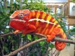 panther_chameleon_yurimaru_2