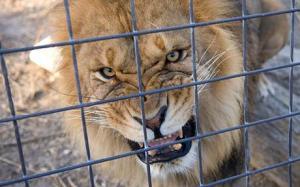 caged_lion_1397649c