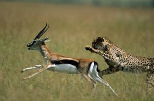 cheetah-speed-2