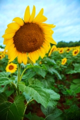 sunflowerfeild.jpg